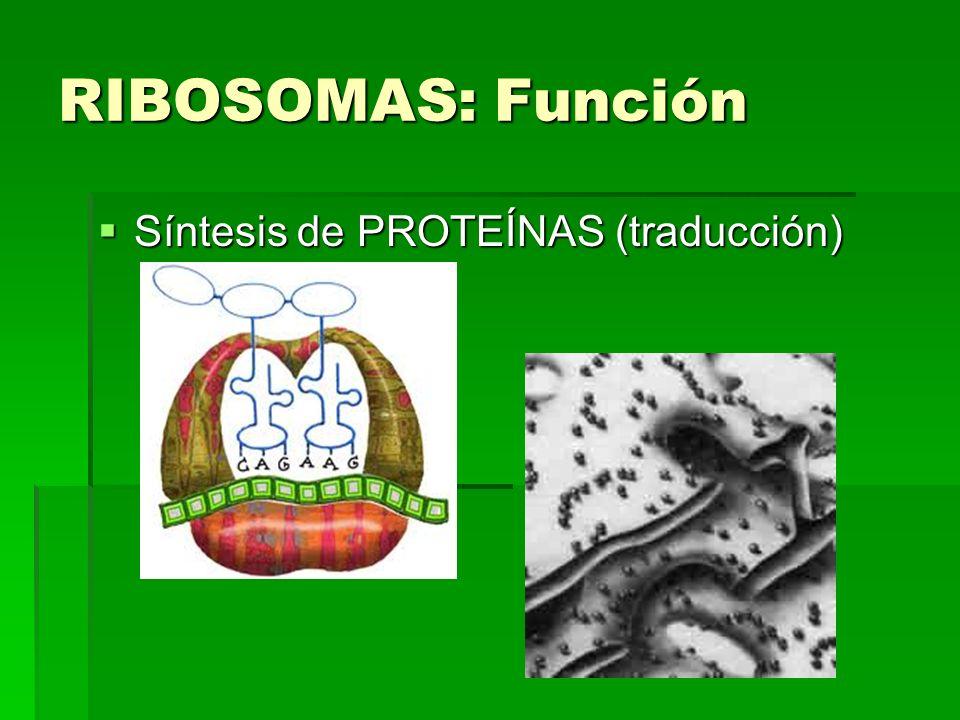 RIBOSOMAS: Función Síntesis de PROTEÍNAS (traducción)