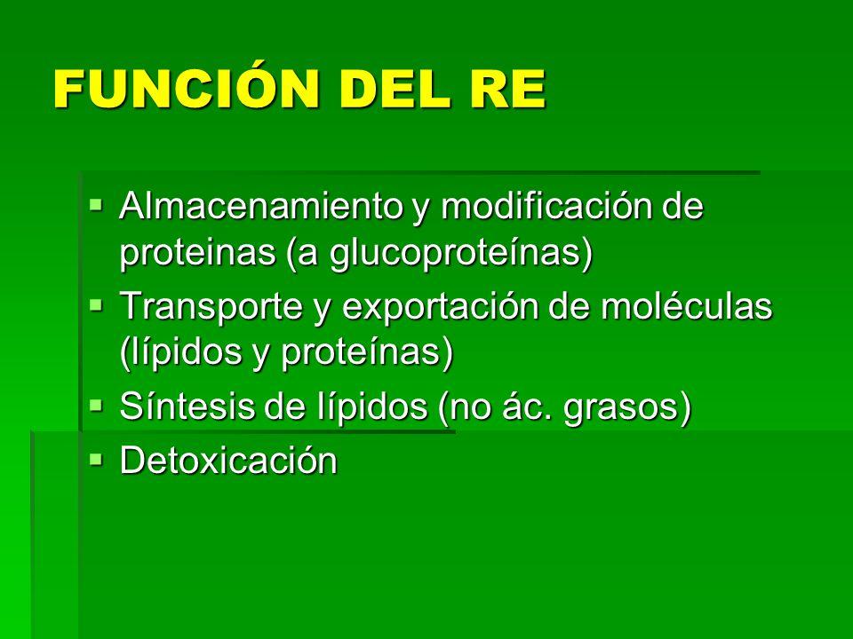 FUNCIÓN DEL RE Almacenamiento y modificación de proteinas (a glucoproteínas) Transporte y exportación de moléculas (lípidos y proteínas)