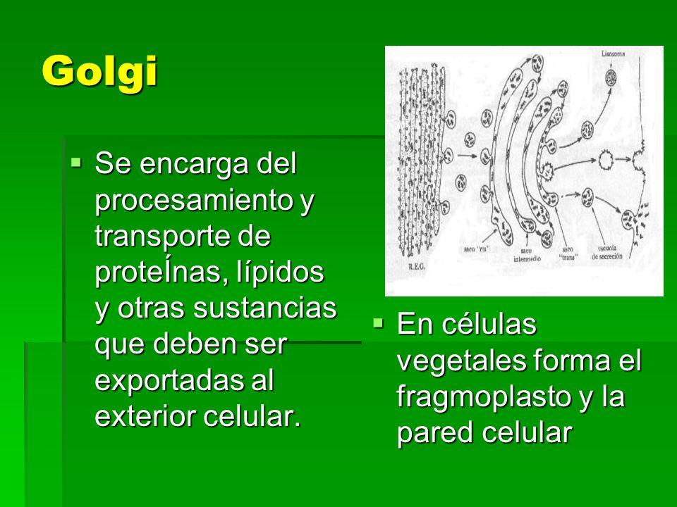 Golgi Se encarga del procesamiento y transporte de proteÍnas, lípidos y otras sustancias que deben ser exportadas al exterior celular.