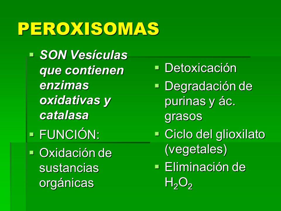 PEROXISOMAS SON Vesículas que contienen enzimas oxidativas y catalasa