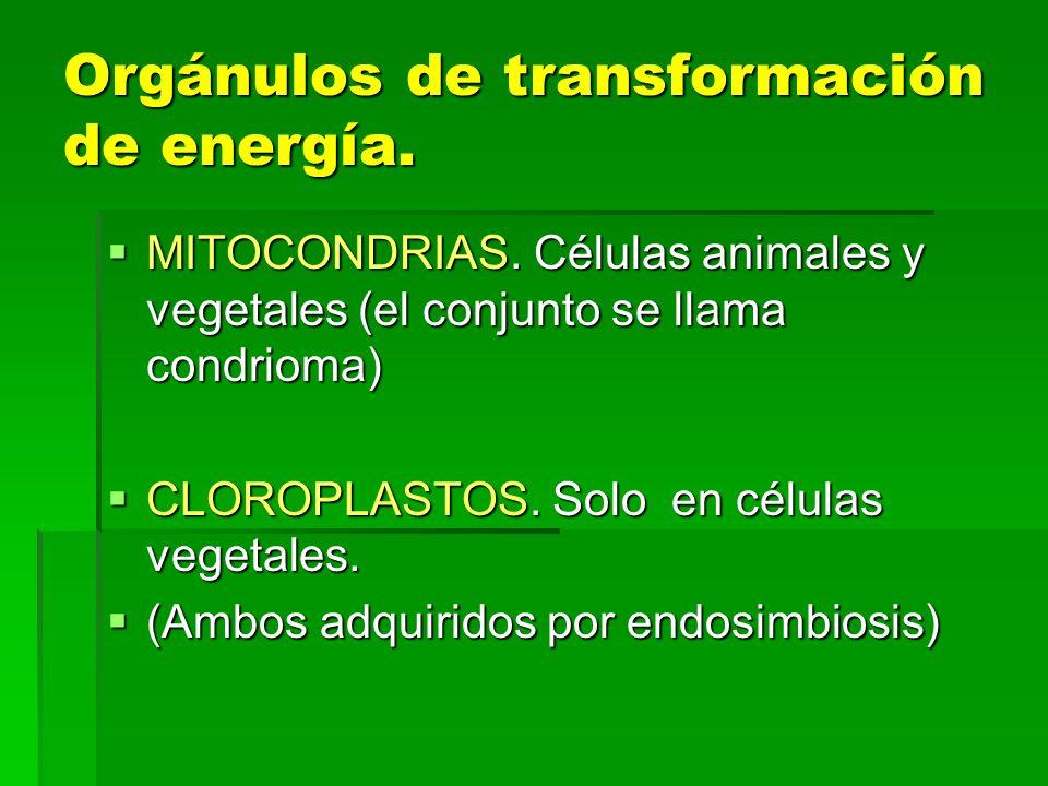 Orgánulos de transformación de energía.