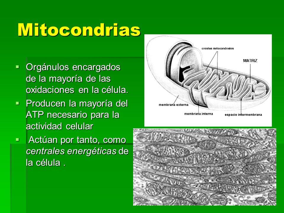 Mitocondrias Orgánulos encargados de la mayoría de las oxidaciones en la célula. Producen la mayoría del ATP necesario para la actividad celular.