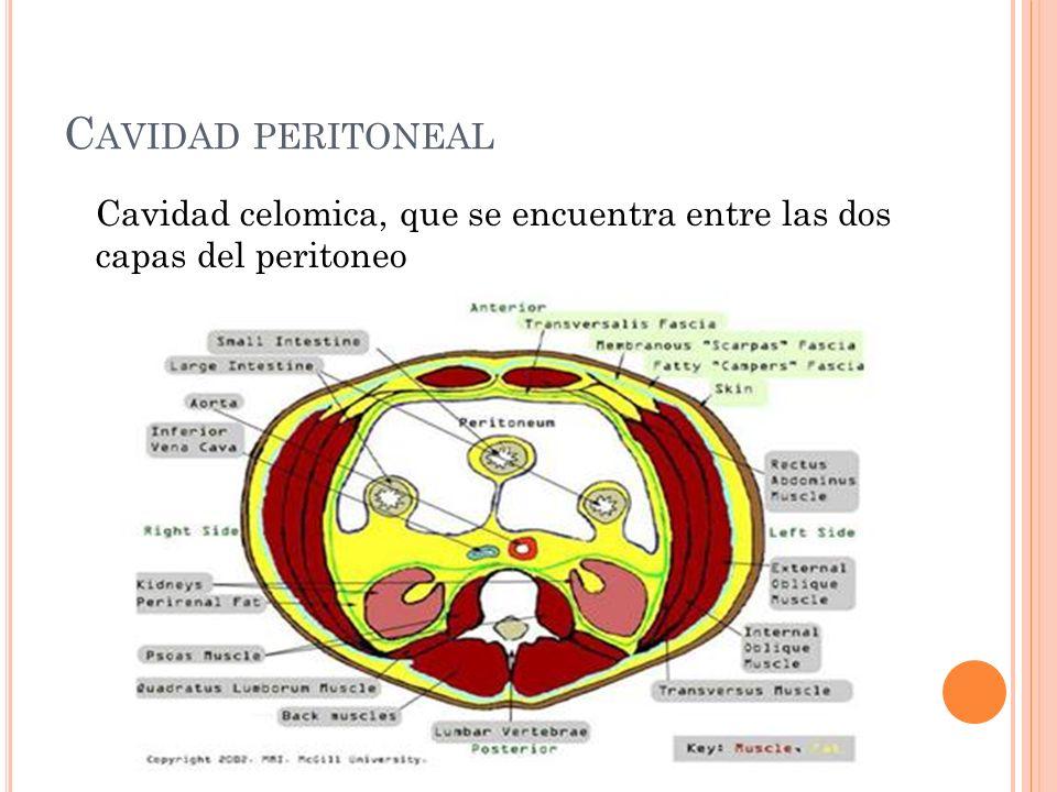 Cavidad peritoneal Cavidad celomica, que se encuentra entre las dos capas del peritoneo