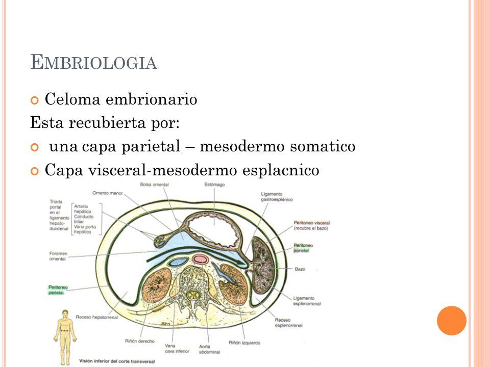 Embriologia Celoma embrionario Esta recubierta por: