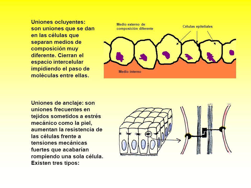 Uniones ocluyentes: son uniones que se dan en las células que separan medios de composición muy diferente. Cierran el espacio intercelular impidiendo el paso de moléculas entre ellas.