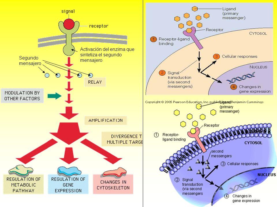 Activación del enzima que sintetiza el segundo mensajero