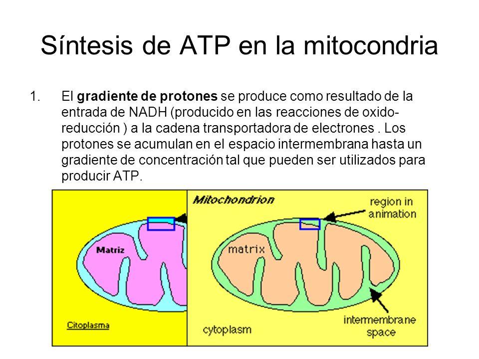 Síntesis de ATP en la mitocondria