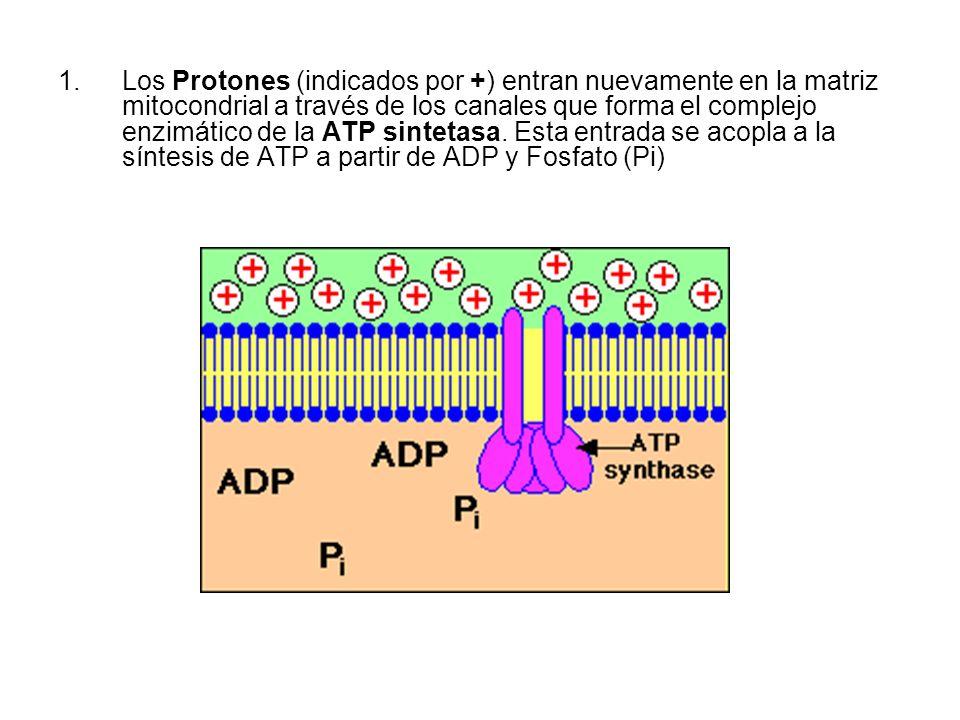 Los Protones (indicados por +) entran nuevamente en la matriz mitocondrial a través de los canales que forma el complejo enzimático de la ATP sintetasa.