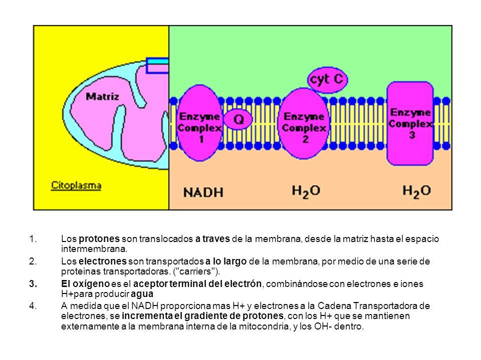 Los protones son translocados a traves de la membrana, desde la matriz hasta el espacio intermembrana.