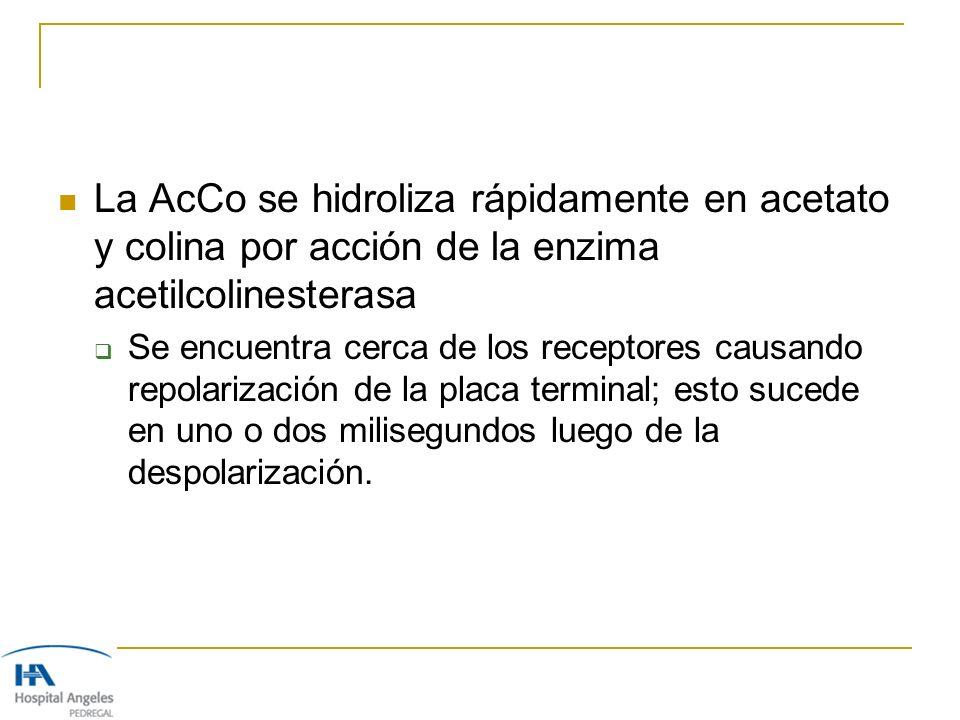 La AcCo se hidroliza rápidamente en acetato y colina por acción de la enzima acetilcolinesterasa