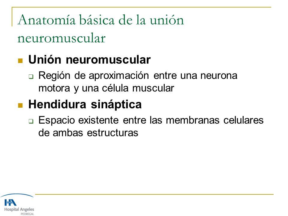 Anatomía básica de la unión neuromuscular