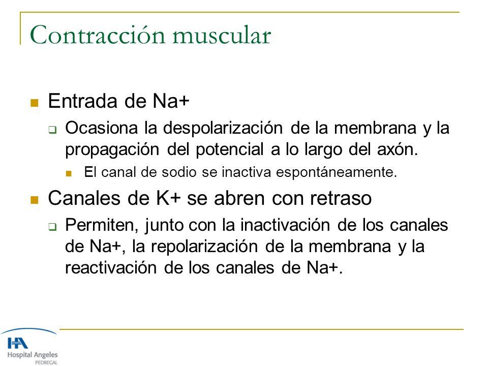 Contracción muscular Entrada de Na+ Canales de K+ se abren con retraso
