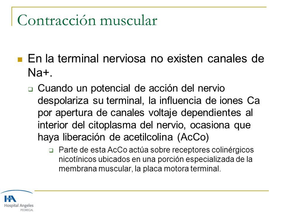 Contracción muscular En la terminal nerviosa no existen canales de Na+.