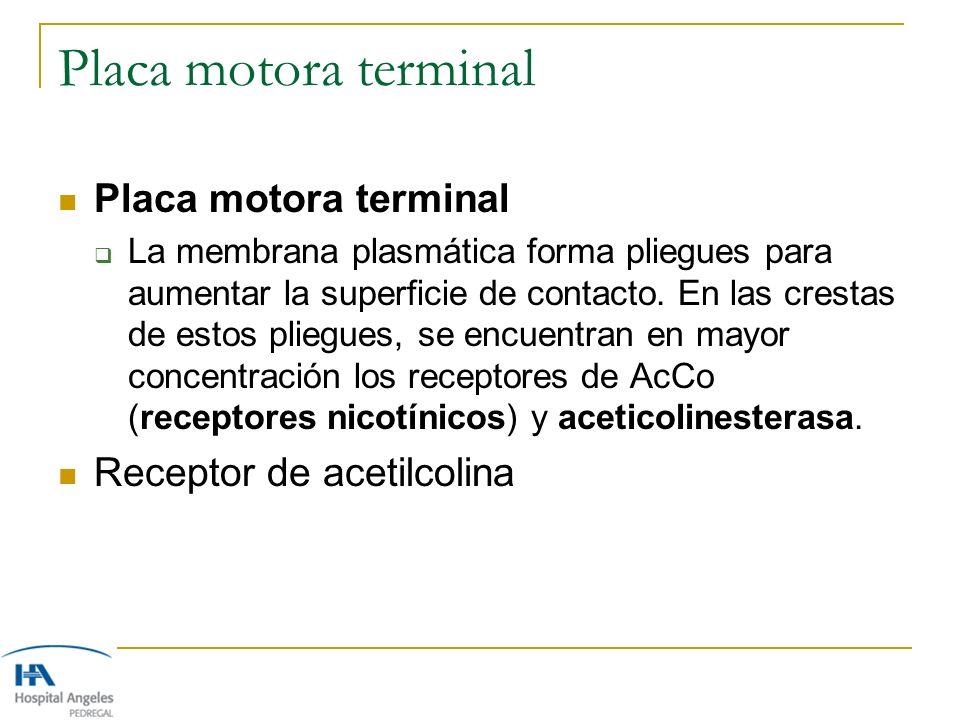 Placa motora terminal Placa motora terminal Receptor de acetilcolina