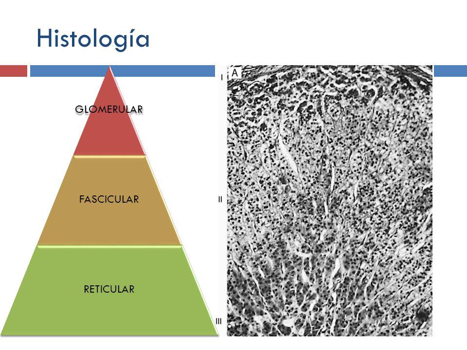 Histología GLOMERULAR FASCICULAR RETICULAR