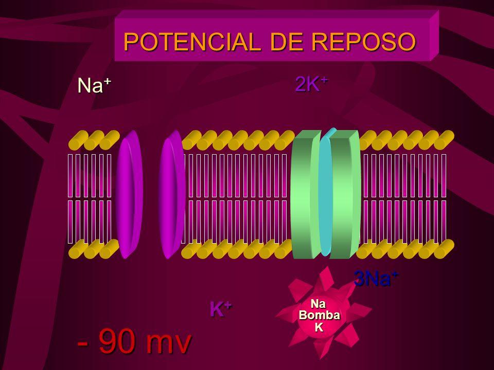 POTENCIAL DE REPOSO Na+ 2K+ 3Na+ K+ Na Bomba - 90 mv K