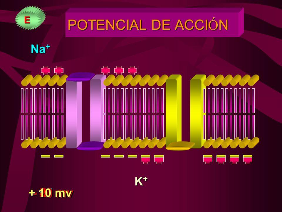 POTENCIAL DE ACCIÓN Na+ K+ + 10 mv - 20 mv - 40 mv - 80 mv - 90 mv