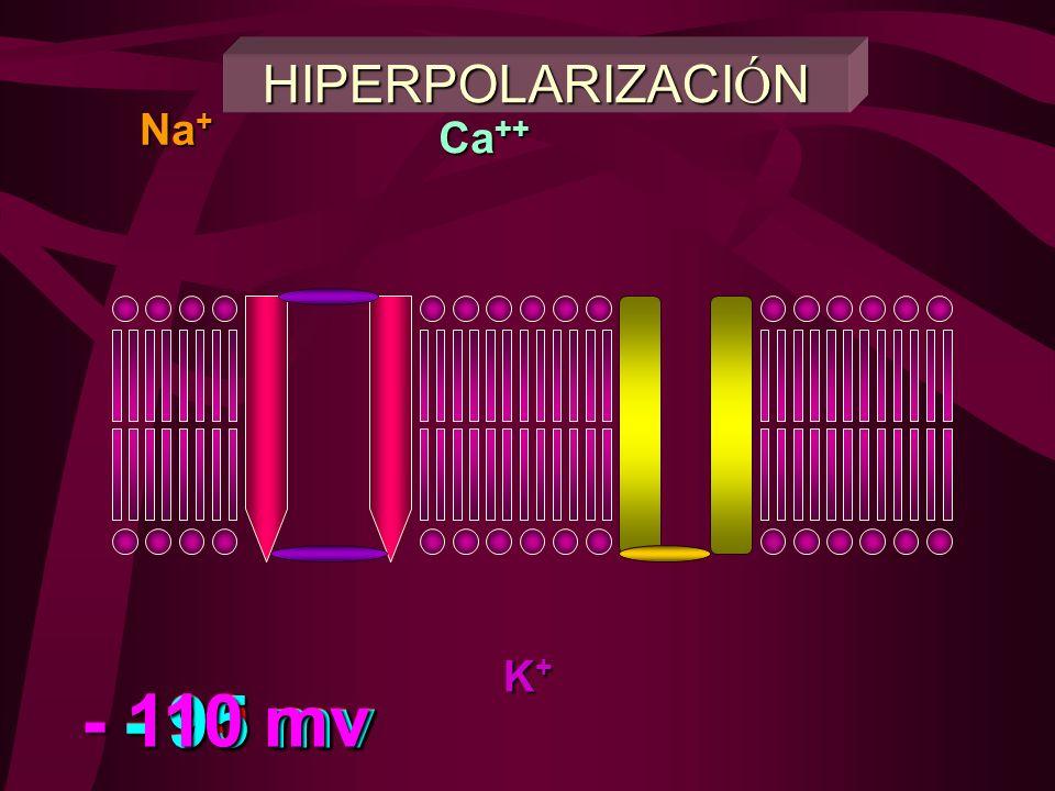 HIPERPOLARIZACIÓN Na+ Ca++ K+ - 110 mv - 95 mv - 90 mv