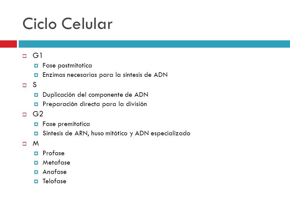 Ciclo Celular G1 S G2 M Fase postmitotica