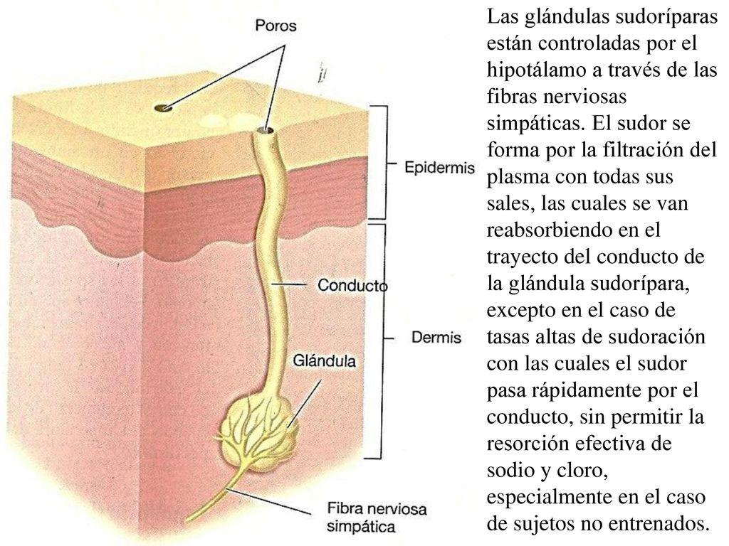 Famoso Anatomía De Las Glándulas Sudoríparas Ornamento - Anatomía de ...