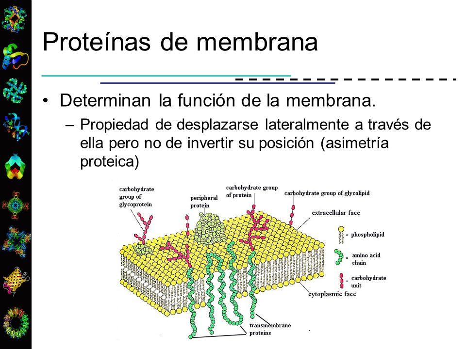 Proteínas de membrana Determinan la función de la membrana.