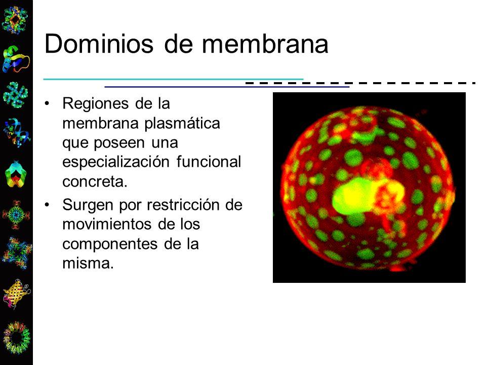 Dominios de membrana Regiones de la membrana plasmática que poseen una especialización funcional concreta.