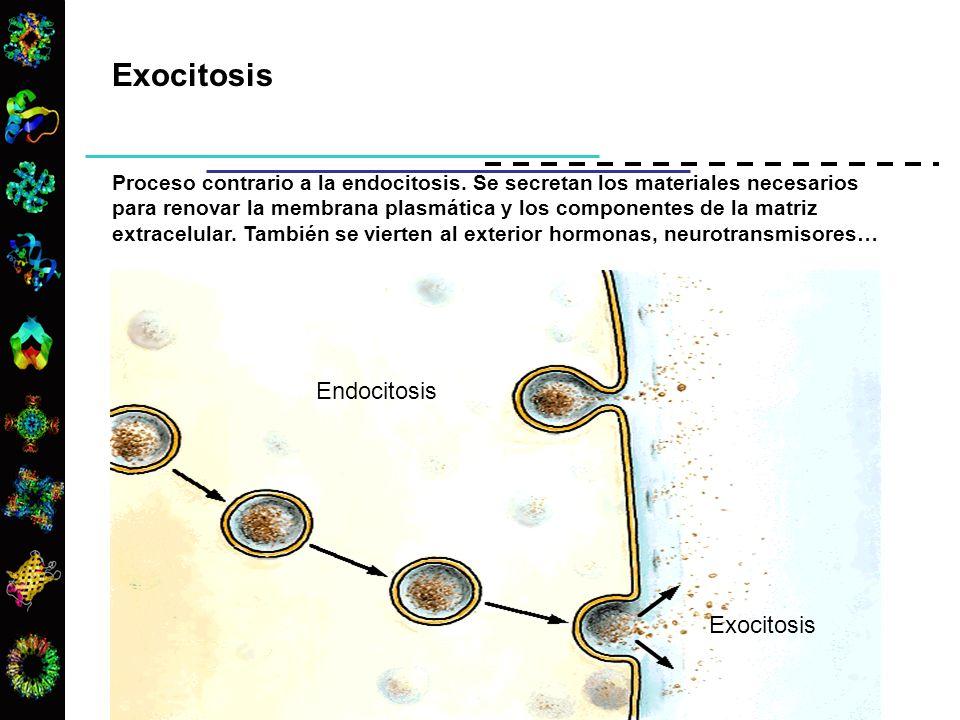 Exocitosis Endocitosis Exocitosis