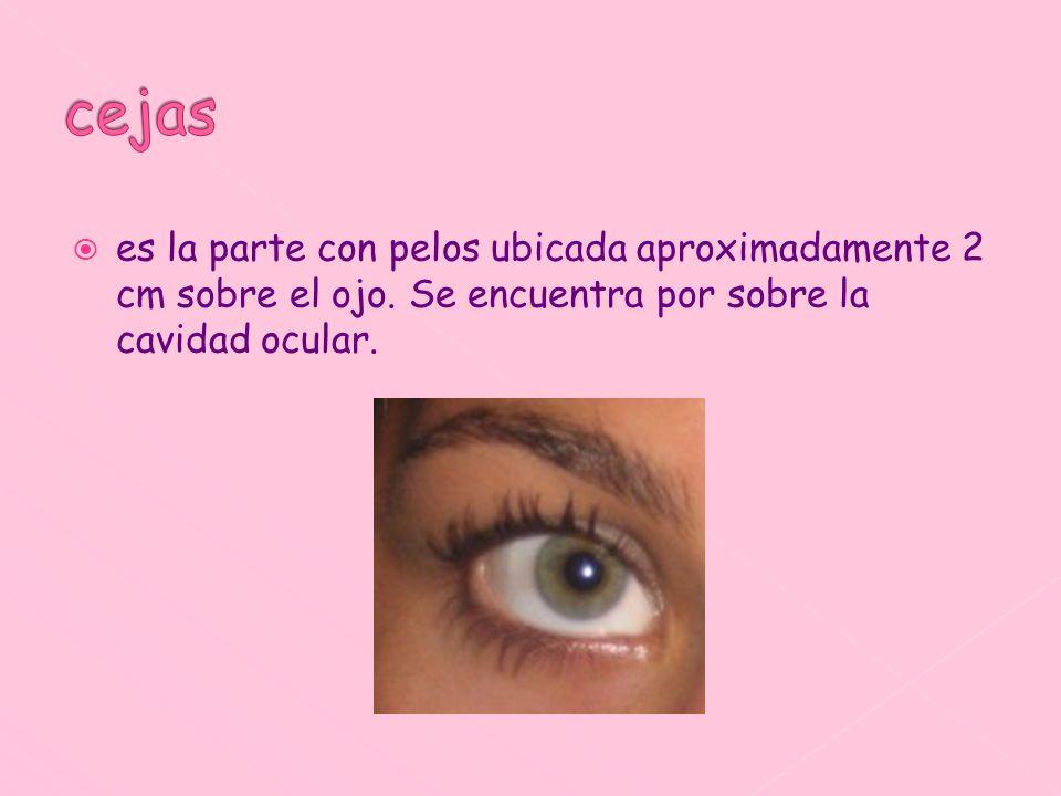 cejas es la parte con pelos ubicada aproximadamente 2 cm sobre el ojo.