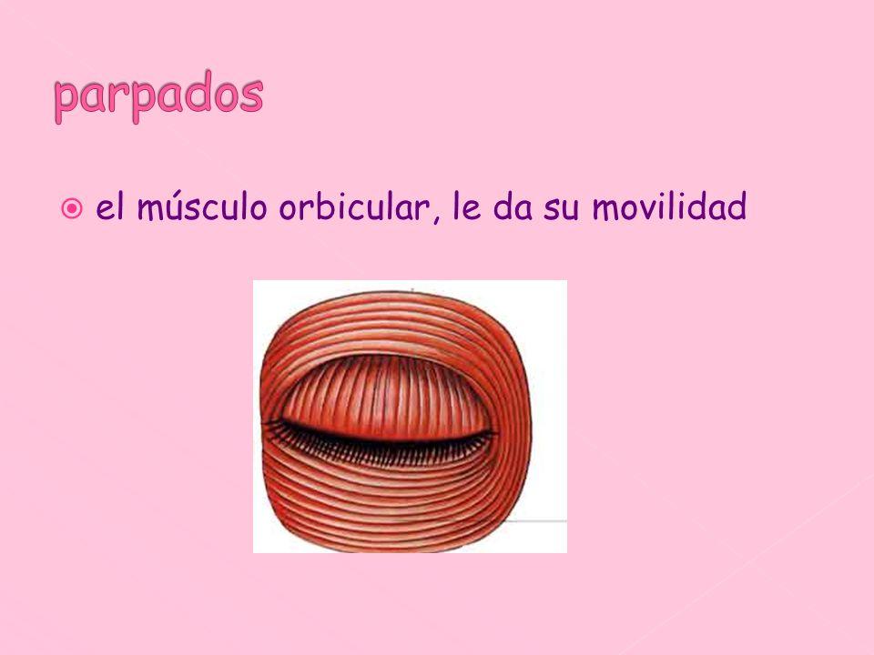 parpados el músculo orbicular, le da su movilidad