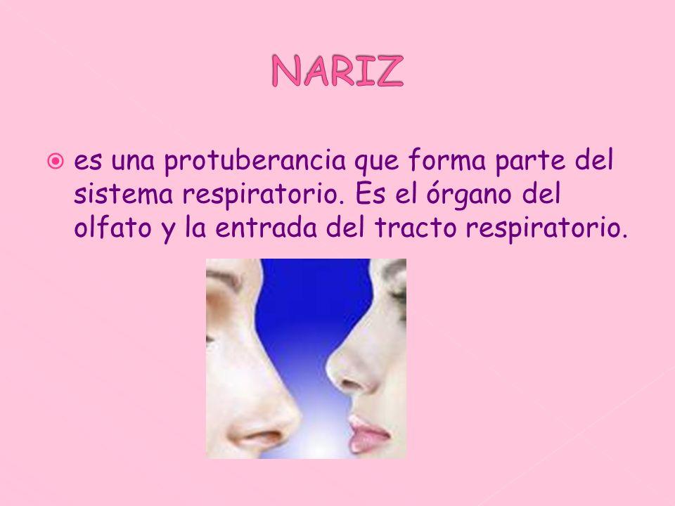 NARIZ es una protuberancia que forma parte del sistema respiratorio.