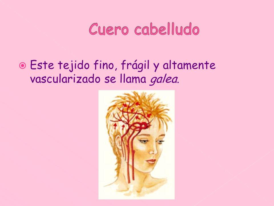 Cuero cabelludo Este tejido fino, frágil y altamente vascularizado se llama galea.