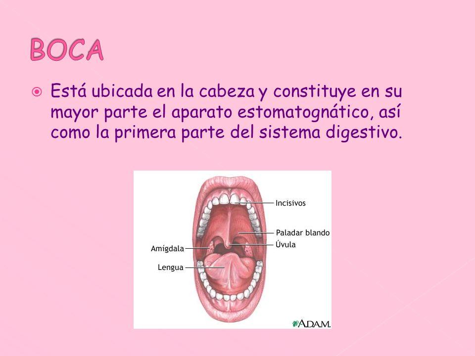 BOCA Está ubicada en la cabeza y constituye en su mayor parte el aparato estomatognático, así como la primera parte del sistema digestivo.