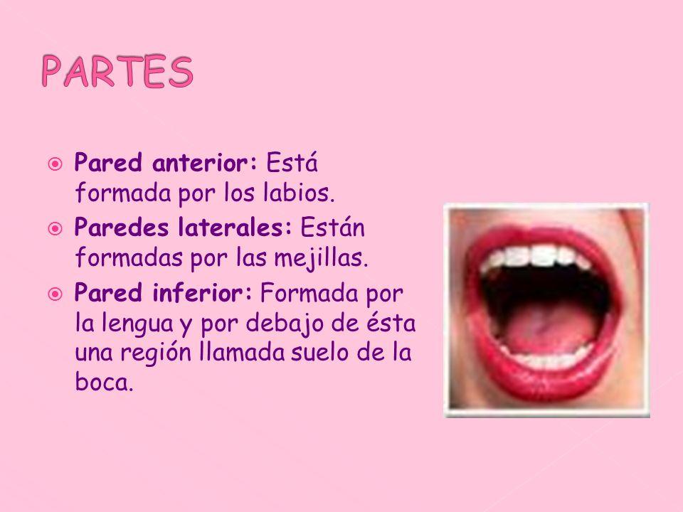 PARTES Pared anterior: Está formada por los labios.