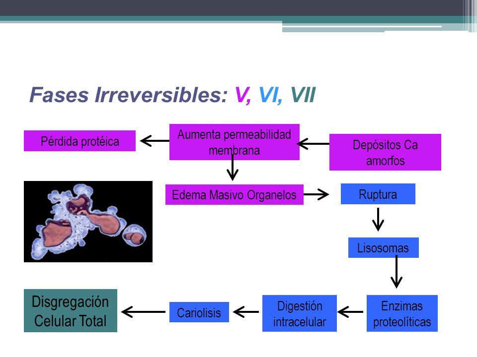 Fases Irreversibles: V, VI, VII