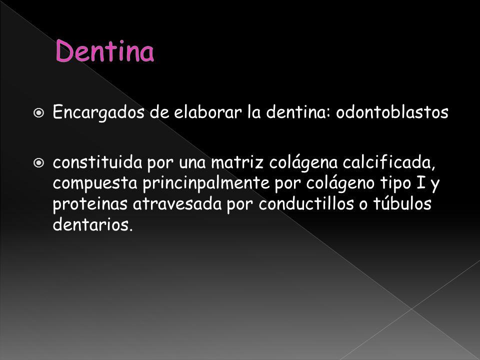 Dentina Encargados de elaborar la dentina: odontoblastos