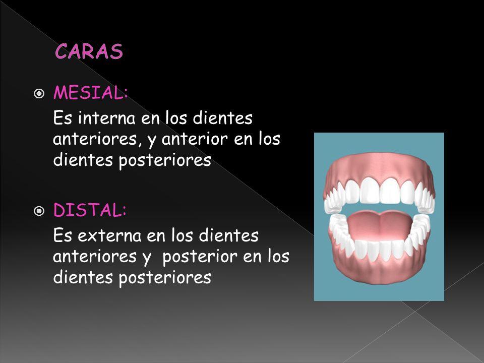 CARAS MESIAL: Es interna en los dientes anteriores, y anterior en los dientes posteriores. DISTAL: