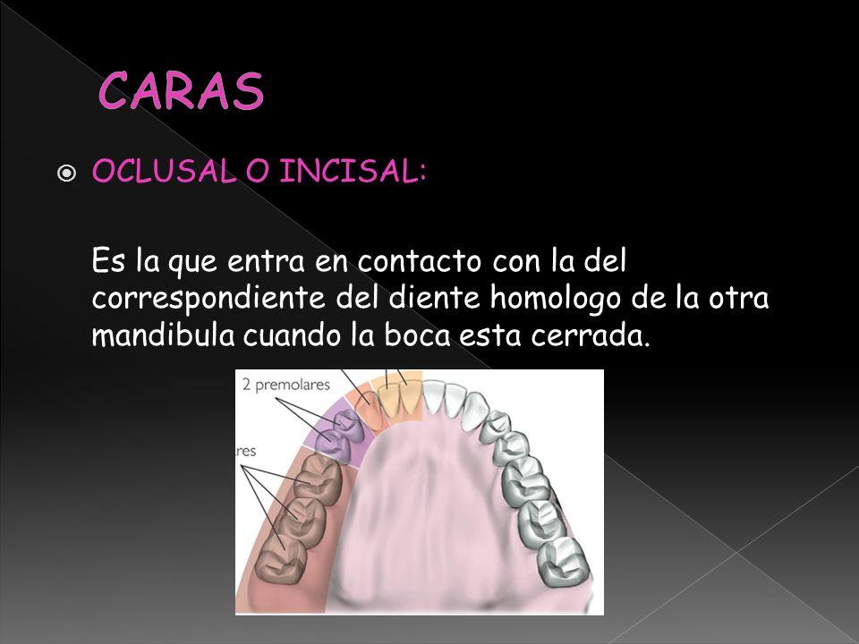 CARAS OCLUSAL O INCISAL: