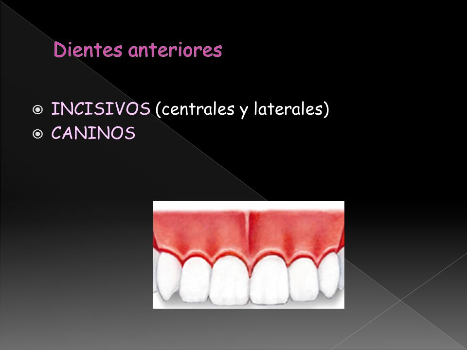 Dientes anteriores INCISIVOS (centrales y laterales) CANINOS