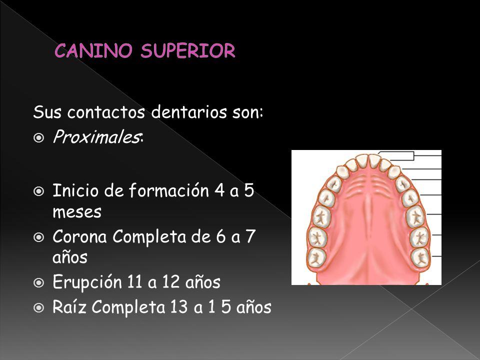 CANINO SUPERIOR Sus contactos dentarios son: Proximales: