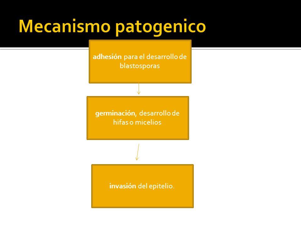 Mecanismo patogenico adhesión para el desarrollo de blastosporas