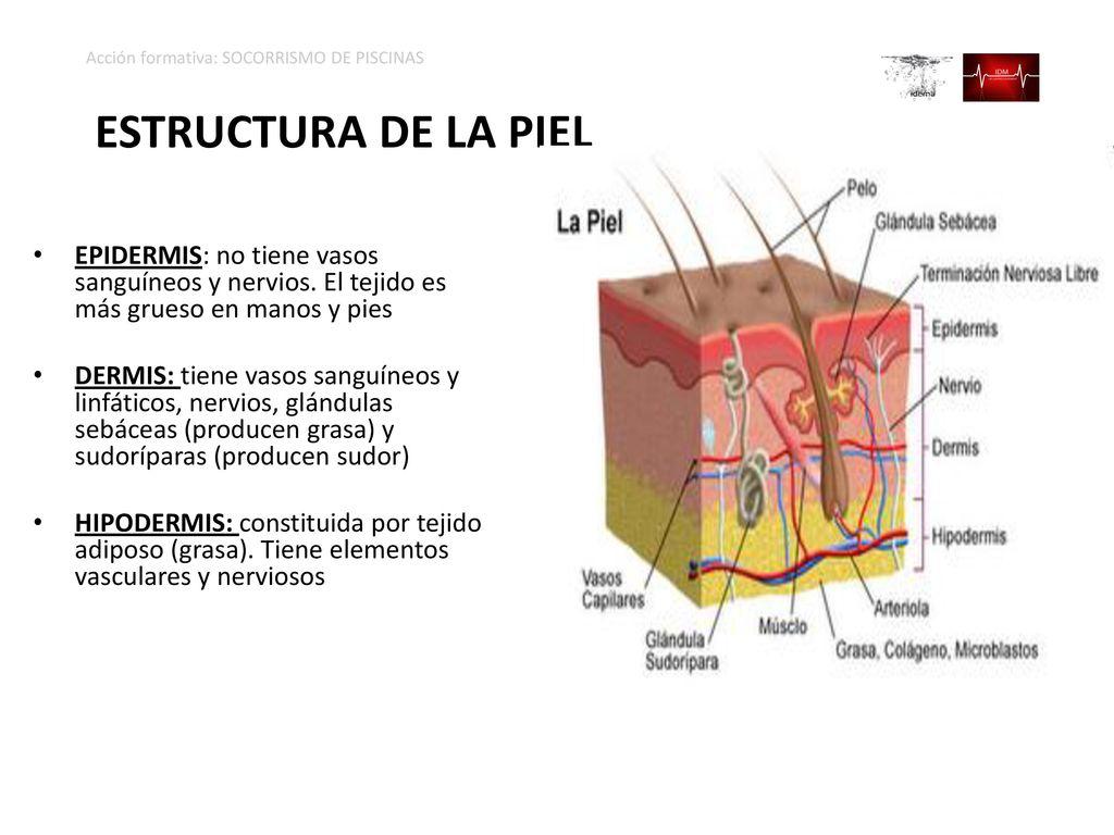 Encantador Anatomía De Los Vasos Sanguíneos Ejercicio 32 Imágenes ...