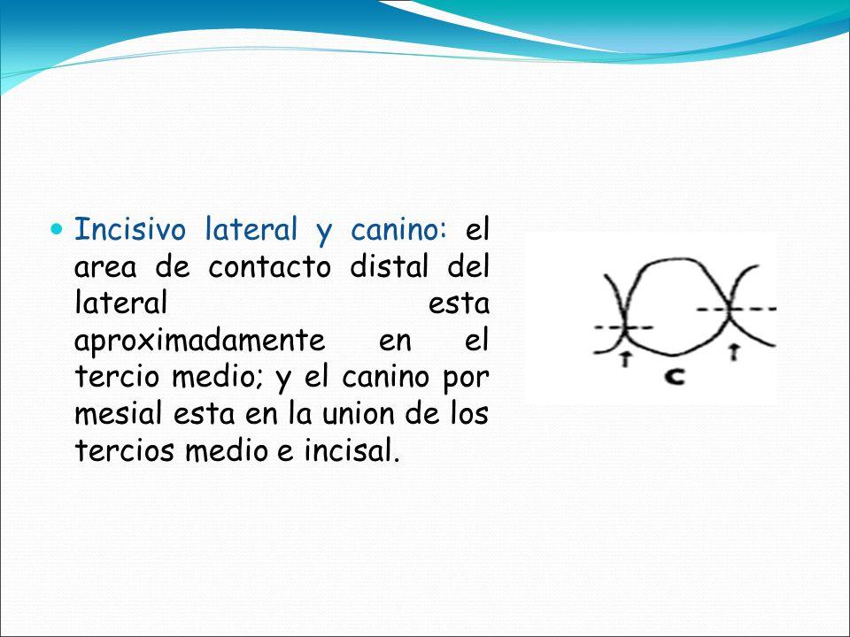Incisivo lateral y canino: el area de contacto distal del lateral esta aproximadamente en el tercio medio; y el canino por mesial esta en la union de los tercios medio e incisal.