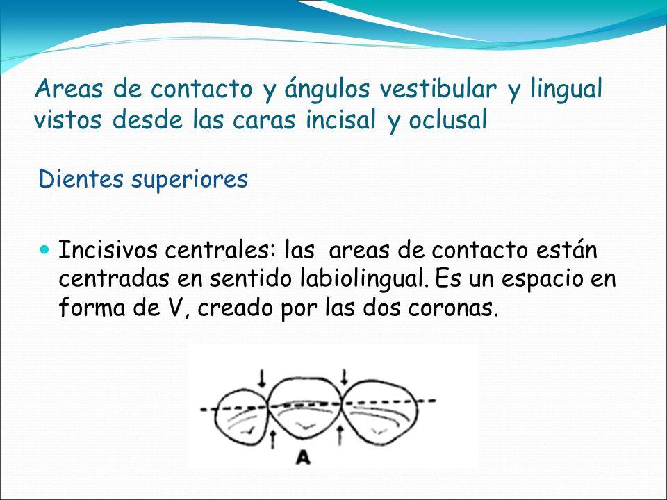 Areas de contacto y ángulos vestibular y lingual vistos desde las caras incisal y oclusal