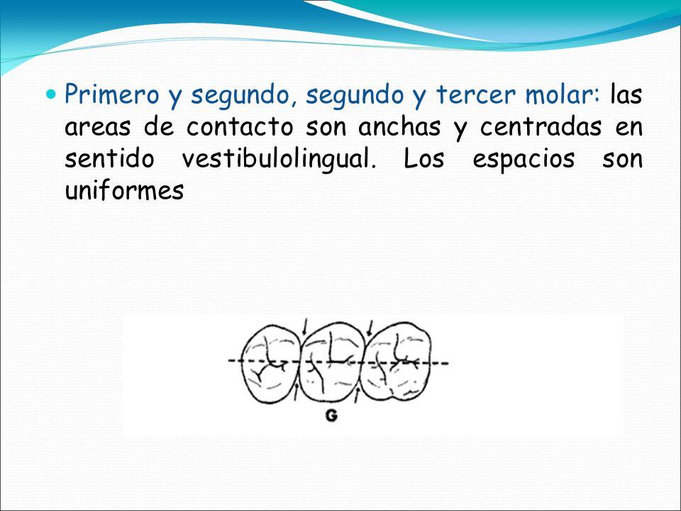 Primero y segundo, segundo y tercer molar: las areas de contacto son anchas y centradas en sentido vestibulolingual.