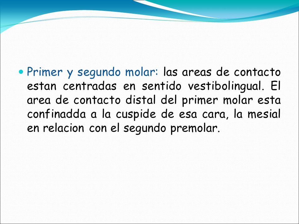 Primer y segundo molar: las areas de contacto estan centradas en sentido vestibolingual.