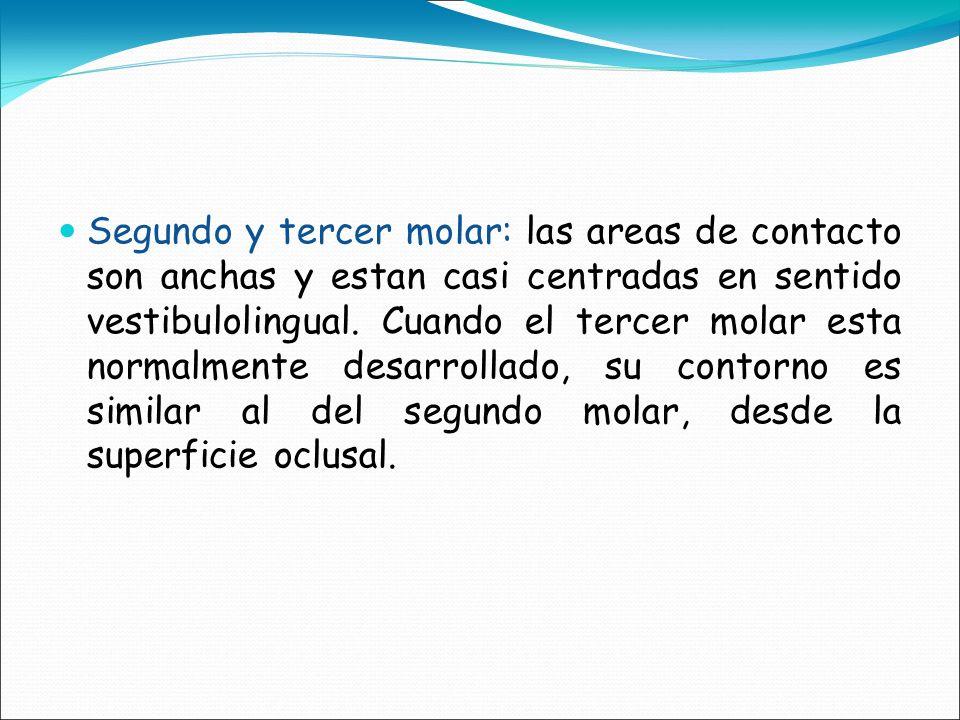 Segundo y tercer molar: las areas de contacto son anchas y estan casi centradas en sentido vestibulolingual.