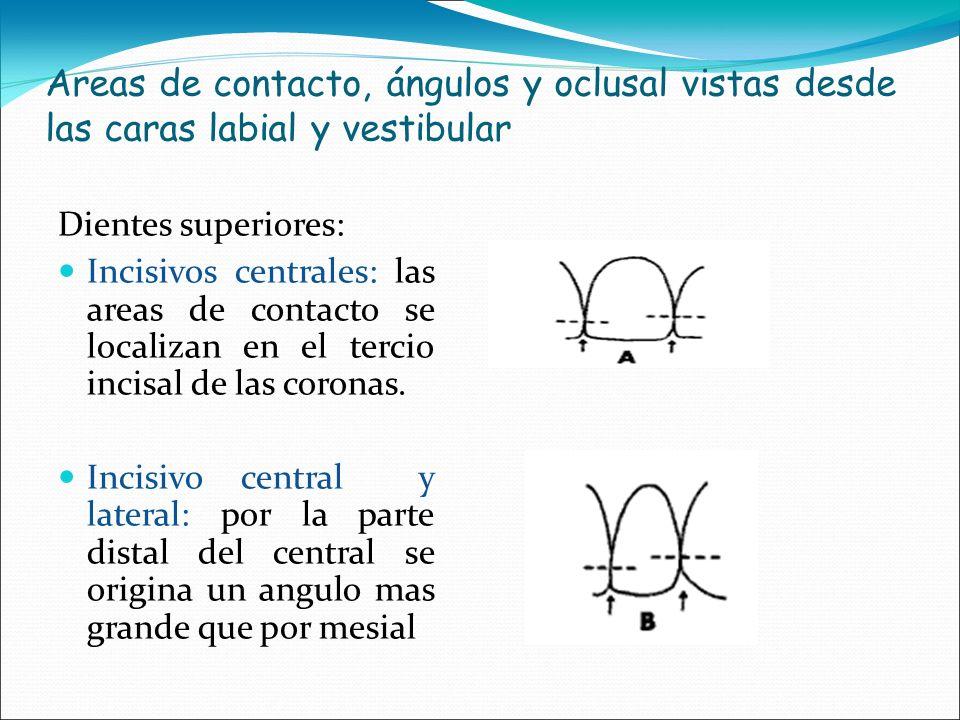 Areas de contacto, ángulos y oclusal vistas desde las caras labial y vestibular