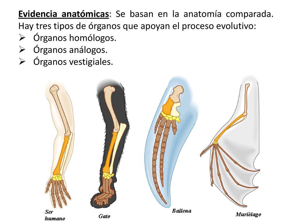 Magnífico Evidencia De La Anatomía Comparada Para La Evolución Friso ...