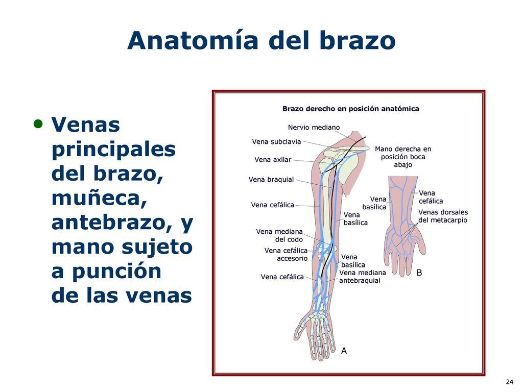 Increíble Anatomía De La Vena Para La Inserción Iv Colección ...