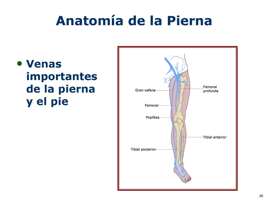 Increíble Venas En La Anatomía De La Pierna Composición - Anatomía ...